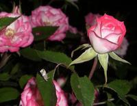 Rose_moth